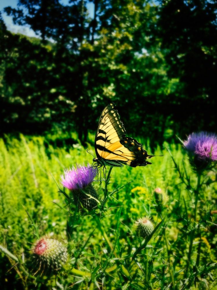 Rich Mountain Trail - butterlfy on purple thistle