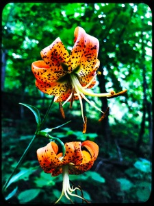 Rough Fork Trail - Turk's Cap Lilly