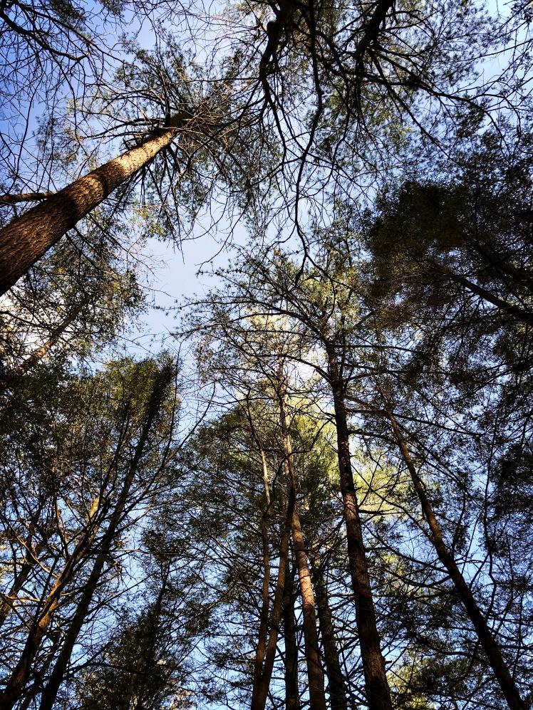 Appalachian Trail - yellow pine