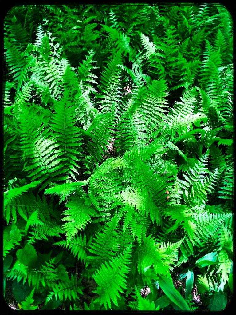 Appalachian Trail - ferns