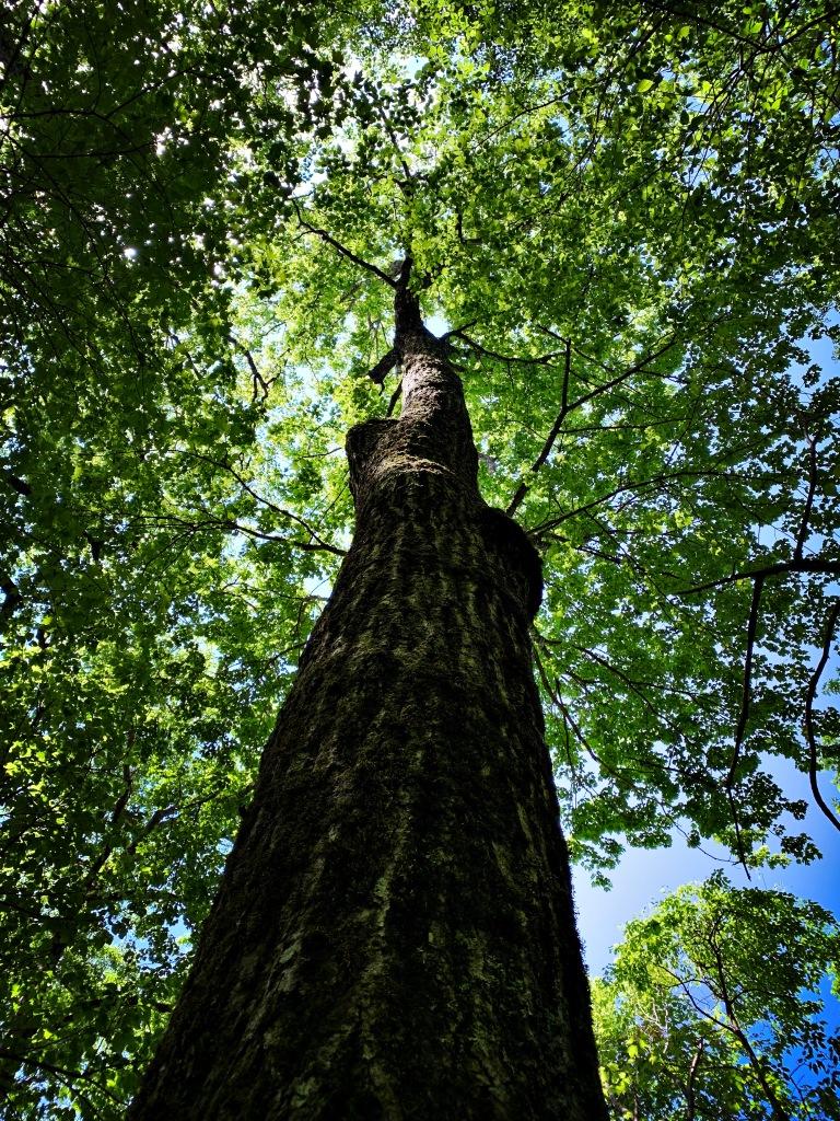 Appalachian Trail - tree