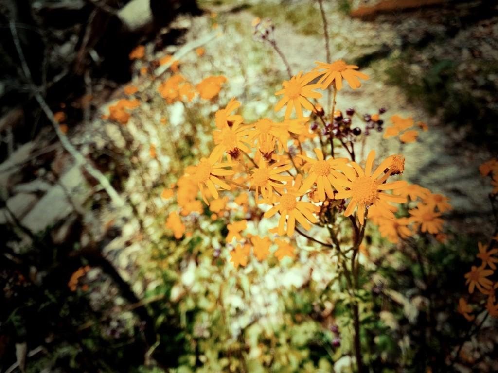 Big Fork Ridge Trail - flowers