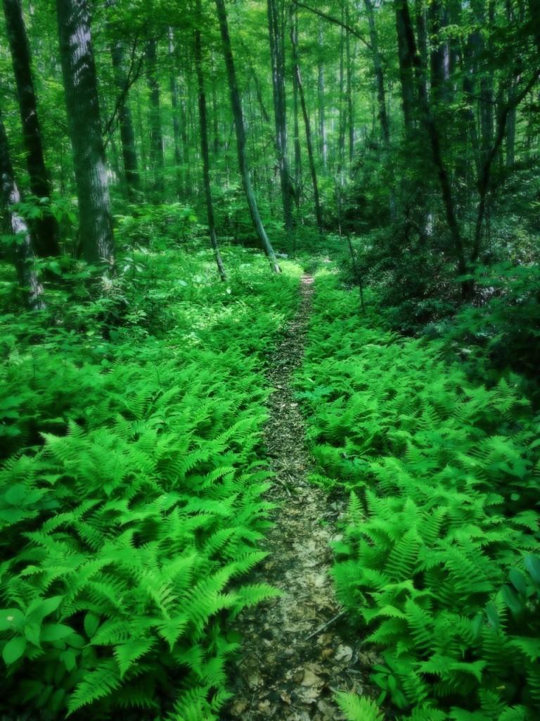 Deeplow Gap Trail - ferns on trail