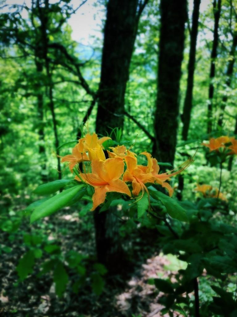 Sunkota Ridge Trail - flame azalea
