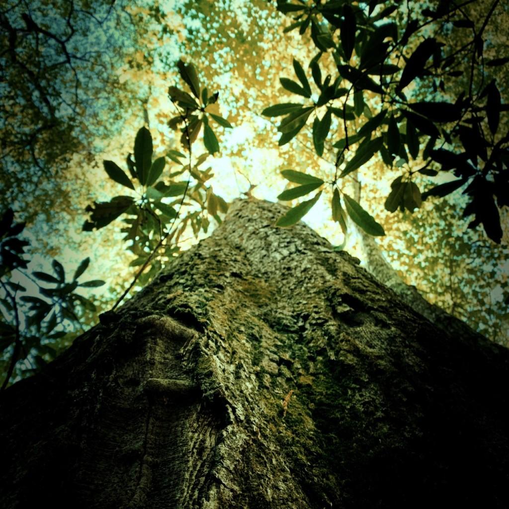 Sunkota Ridge Trail - large tree